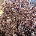 一足先に咲く素晴らしい桜の木