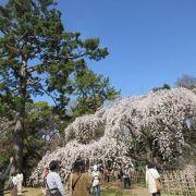 京都御苑の北の御門を入ると間も無く近衛邸跡の見事な枝垂桜に出会います