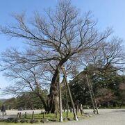 京都御苑の南西に住まいした公家の清水谷家跡にあったとされる椋の巨木