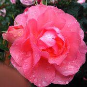 バラも早く開花