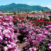 広大なバラの園