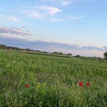 見頃前のポピー畑