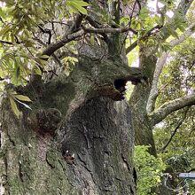 龍に見える木