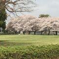 コロナ禍で臨時休業-市民広場の桜が満開なのが慰めだった