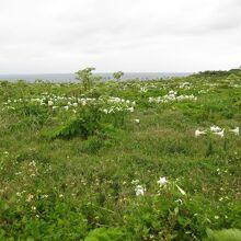 白百合がたくさん咲いてました。すごくきれいです。