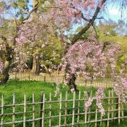 枝垂れ桜の名所