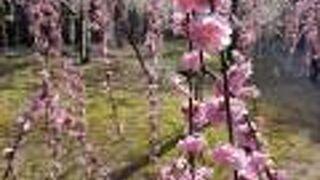 しだれ梅と椿まつり