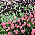 チューリップの花園♪