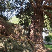 巨木の生命力に圧倒されます。
