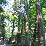 樹齢が高い杉が多くあります。