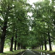 新緑のメタセコイア並木もなかなかです。