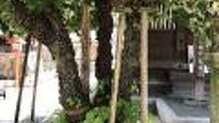 樹齢200年の菩提樹が満開でした