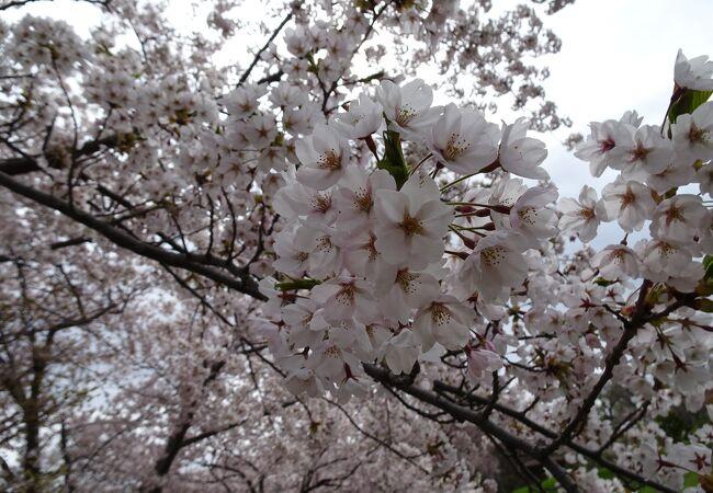 桜が絶景です