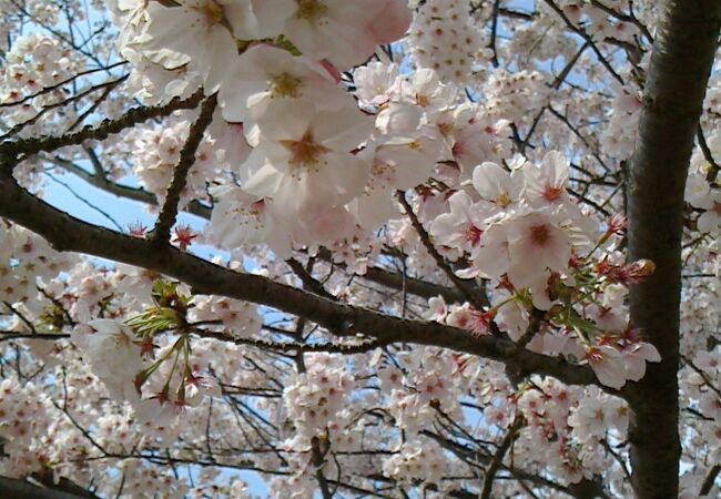 桜の花見の見ごたえがある