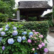 門前に咲く紫陽花は、とても綺麗です