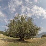 小豆島ならではオリーブ大樹
