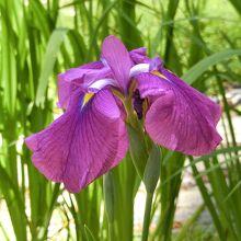 花菖蒲といえば紫も欠かせず