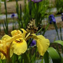 蜜を啄む蝶、絵になる光景