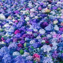 ライトアップされた紫陽花が幻想的です