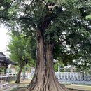 梅岩寺のカヤ