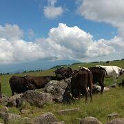 沢山の牛が放牧