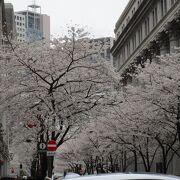 桜の時期に訪れた日本橋三越本店