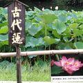 やった、今年も『古代蓮』の花が見られた!