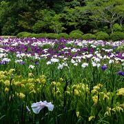 白系や紫、黄色の菖蒲が咲いていました。
