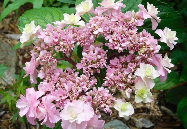 あじさい園ではピンクや白、紫などの花が咲いていました。