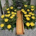 菊の花手水。