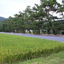 吉備津の松並木