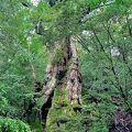 縄文杉が見つかる前はNo.1