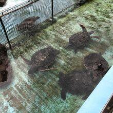 たくさんのウミガメが飼育されています。
