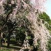 桜が咲いたさん