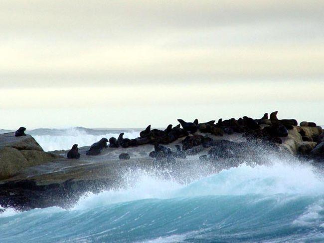 アザラシ島。こちらのアザラシは西側の大西洋に面したハウト湾にあるドイカー島に生息している。港から船で約10分で着くが上陸はできない。波が高く近くに寄るのも日によって運不運がある。船が揺れてシャターをなかなか切れない苦労がある。島の岩の上には数百頭もの多摩ちゃんがごろごろしている。説明書にはアザラシともオットセイとも書いてあるが、広い意味ではアザラシ類でアシカ科とアザラシ科とセイウチ科に分類されアシカ科の中にオットセイがいる。違いはアシカは外耳があり自らの足で身体を支えられるが、アザラシは身体を支えられず丸太状態である。<br /><br />詳細は<br />http://yoshiokan.5.pro.tok2.com/<br />旅いつまでも・・★画像 旅行記<br /><br />をご覧下さい。<br />本文は <br />http://yoshiokan.5.pro.tok2.com/nana/nori140nana.html<br />南アフリカの旅<br />をご覧下さい。
