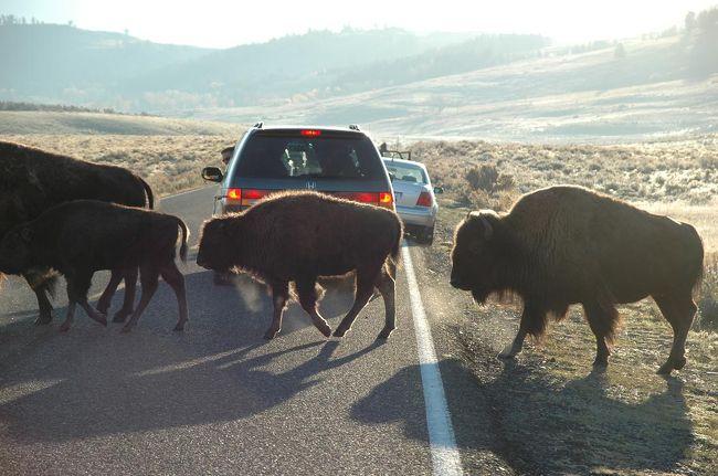 【イエローストーン動物・マニアック編】2003年にグランド・サークルを走破した日本人娘が、再びアメリカの地を踏んだ。今回の目的地は、グランドティトンとイエローストーン。希少な野生動物達との幸運な出会い、美しい山々…。今回の旅も感動たっぷり。そのごくごく一部分をご紹介します!