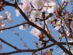春よこい? 西法寺/薄墨桜
