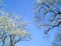 根尾の淡墨桜