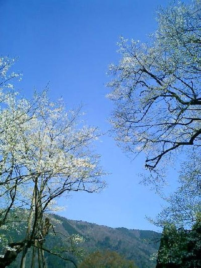 樹齢1500年の淡墨桜目指して根尾村へ向かいました。