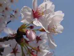 疎水沿いの桜を楽しむ(^^@深草から墨染へ☆2005年4月9日
