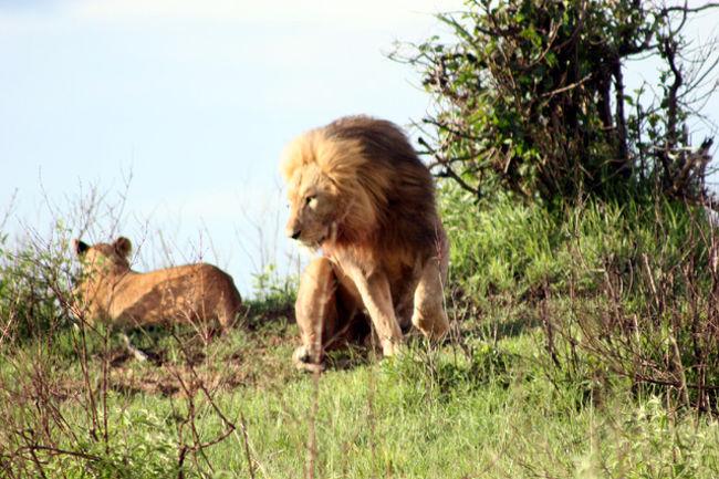 マサイ・マラ国立保護区。野生動物の数の多さではケニア国内で随一の地区である。面積は1840平方mで大阪府全体に相当する広さ。一面の大草原が広がり、数万頭のヌーやシマウマ、ガゼル、バッファロー、象やキリンなどの大群が見られる。草食獣が多いために、ケニアで最大のライオンの棲息地である。もう一つの特徴は他では体験できないバルーン・サファリが出来ることである。ゲームドライブは動物たちが活動する朝夕の時間帯に約2時間ばかり草原を走り回る・・それは楽しい!。<br /><br />詳細は<br />http://yoshiokan.5.pro.tok2.com/<br />旅いつまでも・・★画像 旅行記<br /><br />を参照下さい。