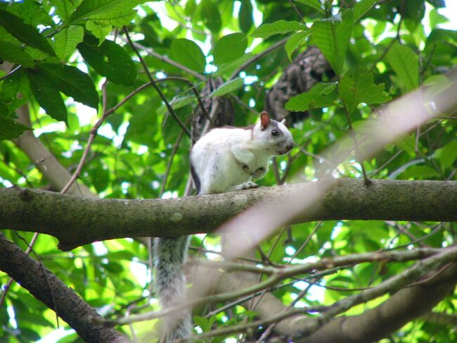 Nicaragua ニカラグアって面白い(1/16) 白いリスに会いに モンティベジ  ~ミツバチばあやの冒険~