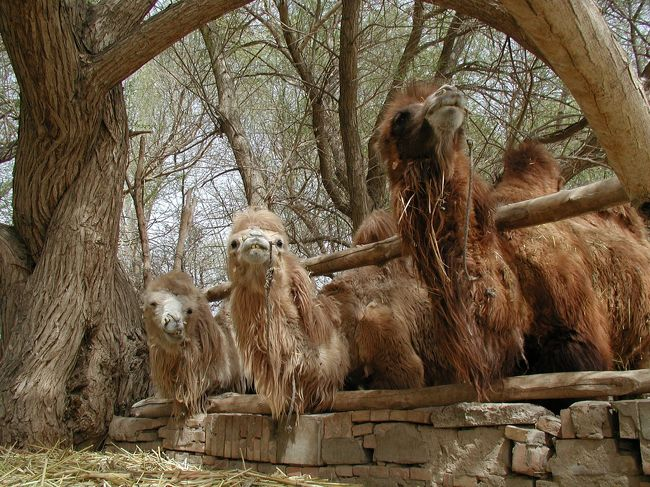 鳴沙山のお店の人を尋ねて、鳴沙山前の商店通りへ出向きました。<br />その時、鳴沙山前の散歩をしていて見付けた駱駝飼育場や、帰りに見た農家の家などを紹介します。