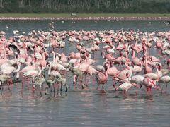 ケニアの旅(1)・・湖をピンク色に染めるフラミンゴの大群を訪ねて