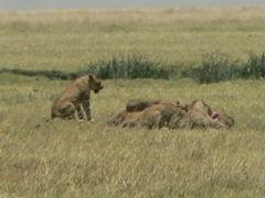タンザニアの旅(1)・・世界有数の大クレーターでのサファリを堪能、ンゴロンゴロ自然保護区を訪ねて