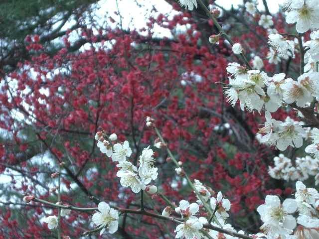 竹と梅を愛でたら、松を見ないと日本人ではありません。いまどきの松?「そうだ、御所へ行こう。」たしか、梅園があったはず。あいにくの小雨まじりの朝でしたが、御苑の梅も満開で十分楽しめました。
