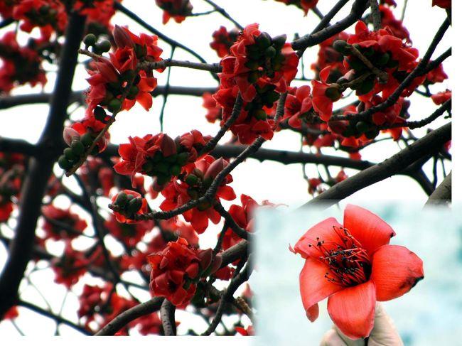 寶墨園の店にみんなが陣中見舞いに来てくれました。<br />上海に戻って健康診断を受けている爺ぃの不在中、長男が店を手伝って呉れている事と、広州市の花「木綿花」が満開になっている所があると言う事で、爺ぃの娘さんと次男が出張って来てくれました。<br />次男が撮った写真で、広州に春を告げる木綿樹の花を中心に、寶墨園内の植物などもご紹介します。<br />(一部、名前が判らないものもありますがご勘弁をば。。。(^^;ゞ)<br /><br />この木綿花、南方航空機の垂直尾翼のロゴマークですし、広州花園酒店(ガーデンホテル)も、3つの木綿花をあしらったデザインロゴを採用していますね。