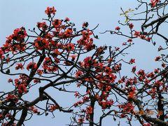 南の国の春明、春を告げる木綿花・2