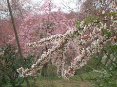 原谷苑まで足を伸ばしてお花見お花見