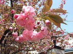 仲良しの友達と旅行に行って来ました?造幣局の桜を見てきました。
